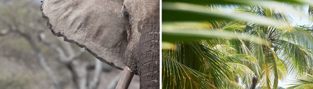 What do elephant ears and palm trees have in common?